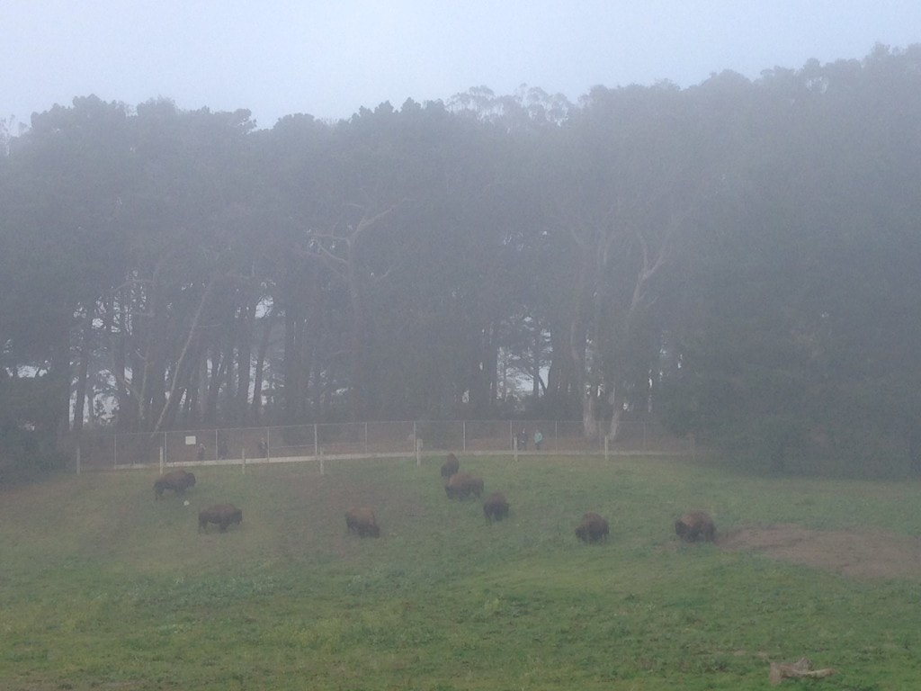 "Buffalo on a foggy day in Golden Gate Park. - ""Golden Gate Park - ""More than Your Average Greenspace"" - Two Traveling Texans"