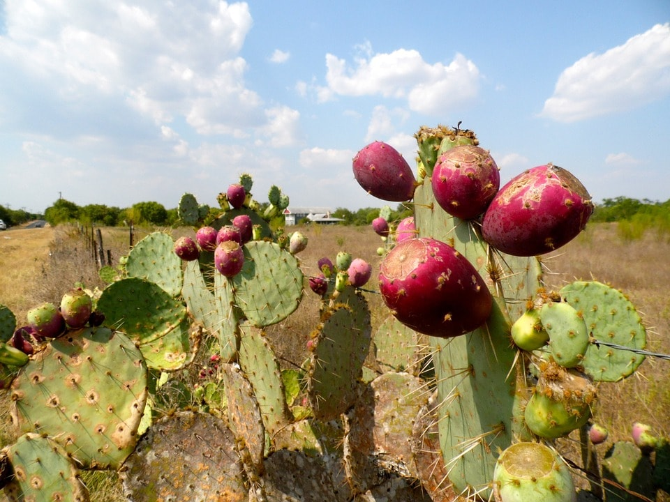 prickly-pear-173963_960_720